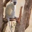 Stock Photo: Vervet monkey sit on branch while forage for food in nature