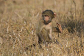 Cute baby baboon sit in brown grass learning about nature what t — Stock Photo