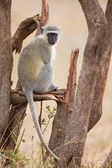 Vervet monkey sit on branch while forage for food in nature — Stock Photo