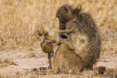 Baboon family play to strengthen bonds and having fun nature — Stock Photo