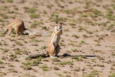 Cute ground squirrel searching for food in dry Kgalagadi desert — Stock Photo