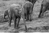 Young elephant drink water with long trunk artistic conversion — Stock Photo
