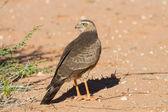 Juvenile Gabar Goshawk standing on dry red Kalahari sand searchi — Stock Photo