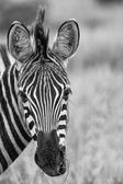Zebra portrait in nature lovely detail artistic converion — Stock Photo