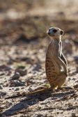 Suricate sentry standing in the early morning sun looking for po — Stock Photo