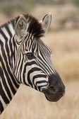 Zebra portrait in nature lovely detail soft light — Stock Photo