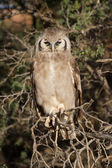 Giant eagle owl sitting in a Kalahari tree sleeping during day — Foto Stock