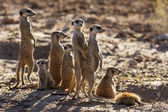 Suricate family standing in the early morning sun looking for po — Stock Photo