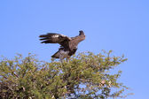 Majestic martial eagle take off from thorn tree to hunt blue Kal — Stock Photo