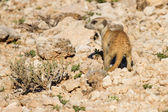 Suricate dig for food in desert sand during early morning sun — Stock Photo