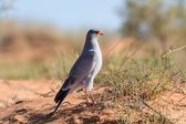 Pale Chanting Goshawk feeding on red sand dune among dry grass i — Foto Stock