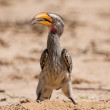 Постер, плакат: Yellow billed hornbill close digging for insects in dry Kalahari