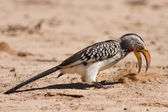 Yellow billed hornbill close digging for insects in dry Kalahari — Stock Photo