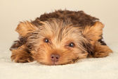 Yorkshire Terrier puppy standing in studio looking inquisitive b — Foto Stock