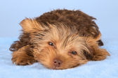 Yorkshire Terrier puppy standing in studio looking inquisitive b — Stock Photo