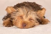 Yorkshire Terrier puppy standing in studio looking inquisitive b — Stock Photo