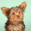 Yorkshire Terrier puppy standing in studio looking inquisitive g — Stock Photo #46768595