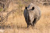 Close-up of a white rhino in the bush with a tough wrinkled skin — Stock Photo
