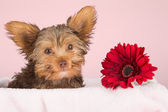 Tired cute little Yorkshire terrier resting on a soft pink bed a — Stock Photo