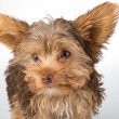 Yorkshire Terrier puppy standing in studio looking inquisitive w — Stock Photo #49087493