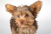Yorkshire Terrier puppy standing in studio looking inquisitive w — Stock Photo
