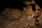 Hungry leopard eat dead prey in tree at night — Stock Photo