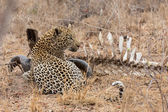 Big strong male leopard walking eat on animal carcass on grass — Stock Photo