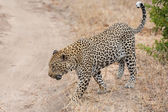 Big male leopard walking in nature to mark his territory — Stock Photo