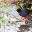 Small black crake eating fish in shallow running water — Stock Photo #51360413