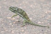 Small green chameleon cross tar road on a hot day — Stock Photo
