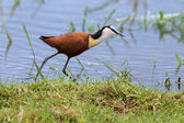 African jacana plod along on water plants chasing small insects — Stock Photo