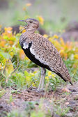 Red-crested Bustard calling to its mate while trying to hide in  — Stock Photo