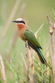 White fronted bee-eater sit on reed waiting for the next inset t — Stock Photo