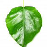 Green leaf on white poplar — Stock Photo #18940913