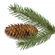 Stock Photo: Spruce branch with cones
