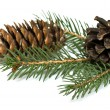 Spruce branch with cones — Stock Photo