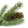 Spruce branch with cones — Stock Photo #18946269