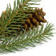 Spruce branch with cones — Stock Photo #18946305