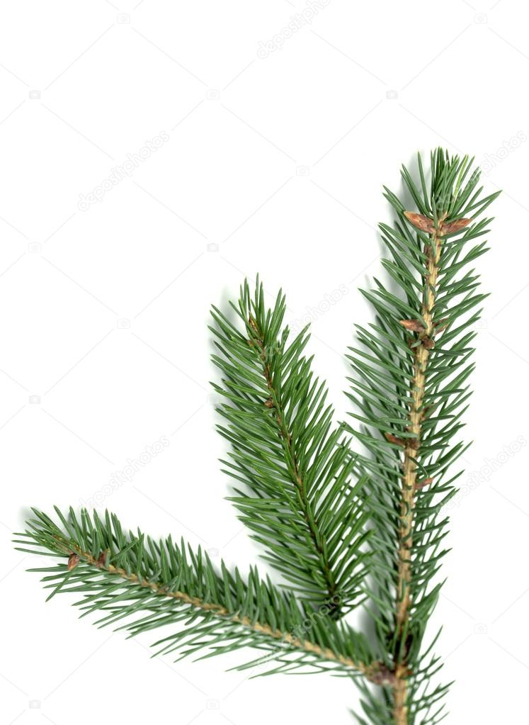 Spruce branch on a white background — Stock Photo #18950985