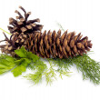 Fir-cone — Stock Photo