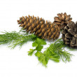 Stock Photo: Fir-cone