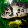 Fish in the aquarium — Stockfoto