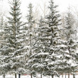 Spruce trees in snow landscape — Stockfoto