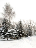 Spruce trees in snow landscape — Stock Photo