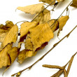 Dry birch leaves on a white background - Stock Photo