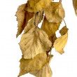 Dry birch leaves on white background — Stok Fotoğraf #21123973