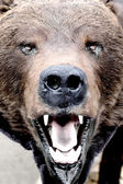 Bear's snout close up — Stock Photo