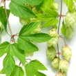 Stock Photo: Branch of hops