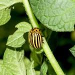 Colorado beetle — Stock Photo #37235209