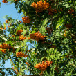 Stock Photo: Rowanberry Tree